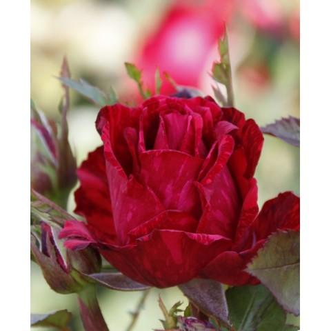 Троянда Ред Інтуішн (Red Intuition)
