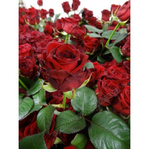 Троянда Ред Наомі (Red Naomi)