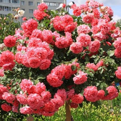 Троянда Розаріум (Rosarium) штамб