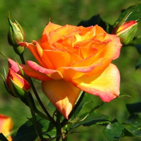 Роза Сахара (Sahara)