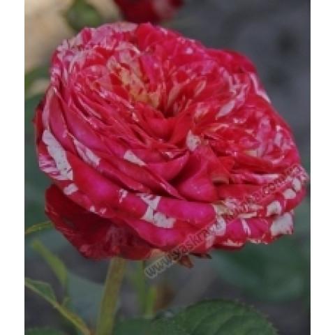 Роза Сатина (Satina)
