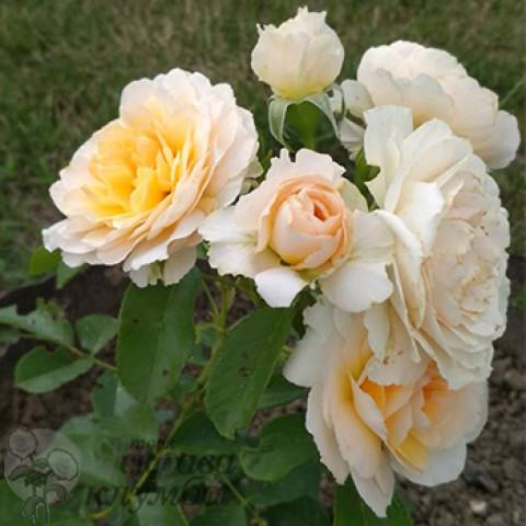 Роза Сэр Ланселот (Sir Lankelot)