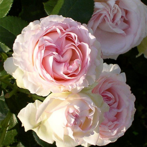 Троянда Серце троянди (Heart of Rose) штамб