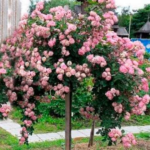 Роза Сердце розы (Heart of Rose) штамб