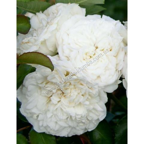 Роза Сияющая невеста (Shining Bright)