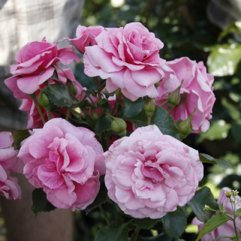 Троянда Соня (Sonia)