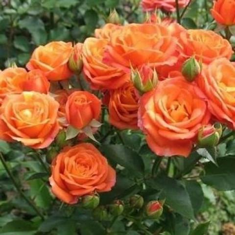 Троянда Спрей Алегрія (Alegria)