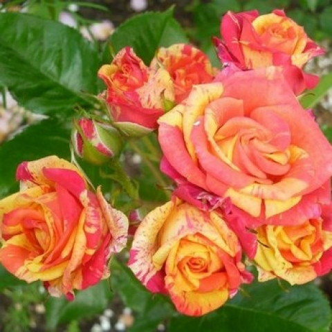 Троянда Спрей Флеш Фаер (Fire Flash)
