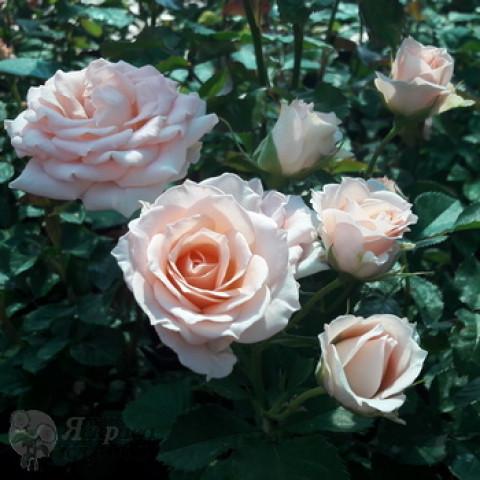 Роза Спрей Кремовая