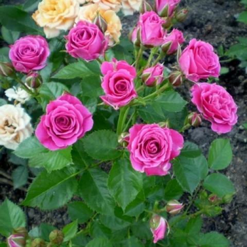Роза Спрей Лавли Лидия (Lovely Lydia)