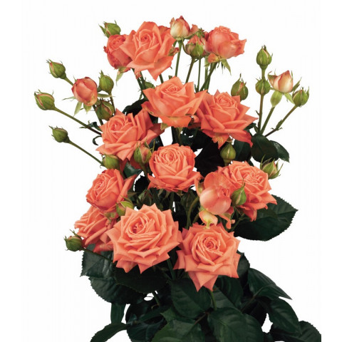 Роза Спрей Оранжевая