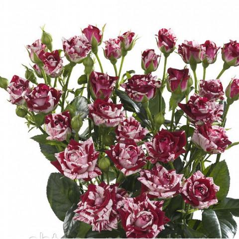 Роза Спрей Пестрая