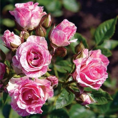 Роза Спрей Пинк Флэш (Pink Flash)