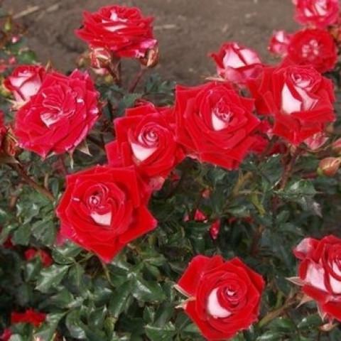 Роза Спрей Руби Стар (Ruby Star)