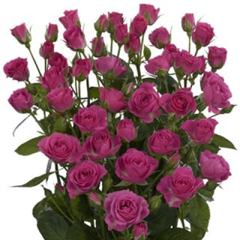 Роза Спрей Сиреневая