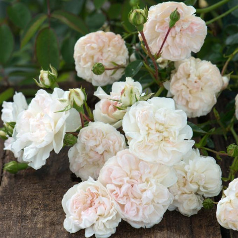 Роза Свани (Swany) штамб