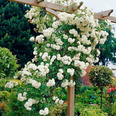Троянда Свані (Swany) штамб