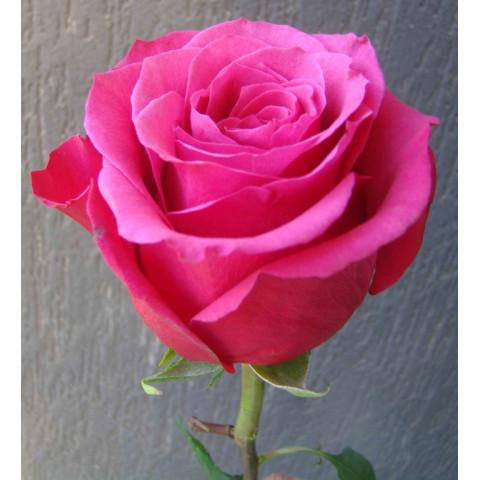 Троянда Топаз (Topaz)