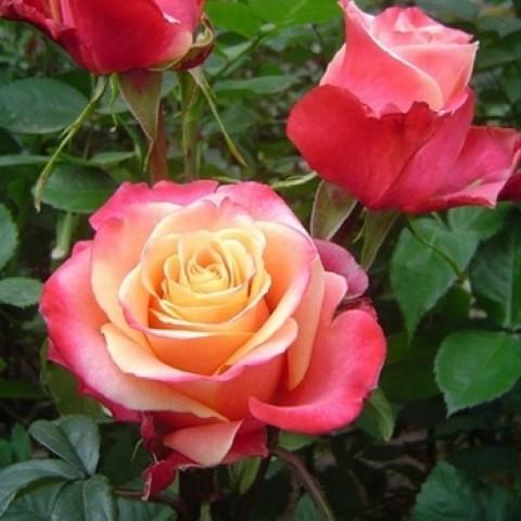 Роза Три-Д (3D)