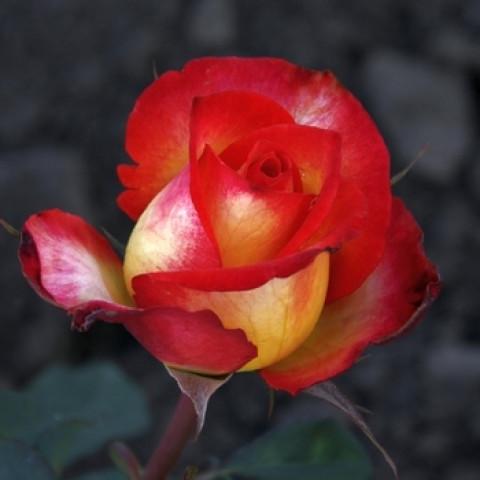 Роза Утопия (Utopia)