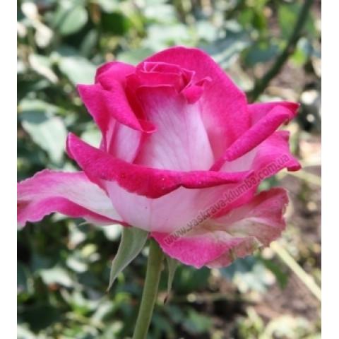 Троянда Ранок Парижу (Utro Parisa)
