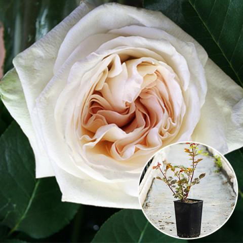 Роза Вайт Охара (White O'Hara) (контейнер 3 л)