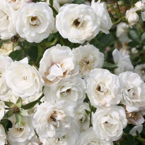 Троянда Вальс (Waltz) штамб