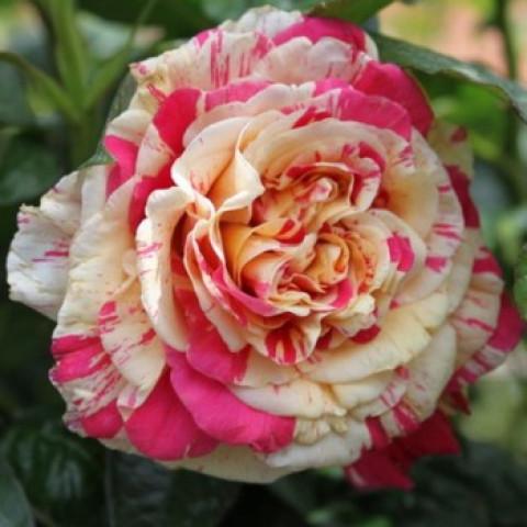 Троянда Ваніль Фрейз (Vanille Fraise)