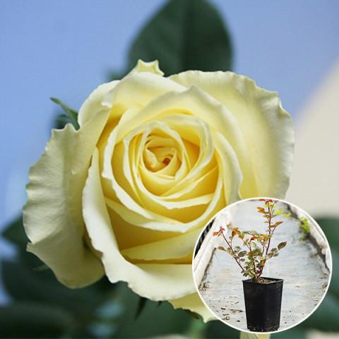 Роза Ванильное Небо (Vanilla Sky) (контейнер 3 л)