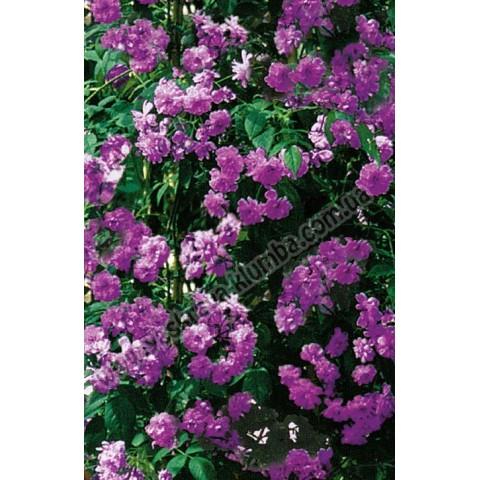 Троянда Вейченблау (Veilchenblau)