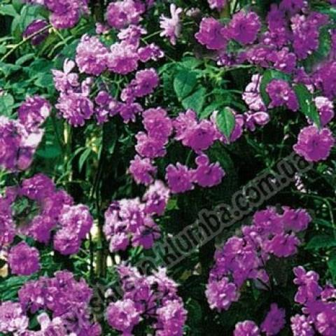 Роза Вейченблау (Veilchenblau) (контейнер 3 л)
