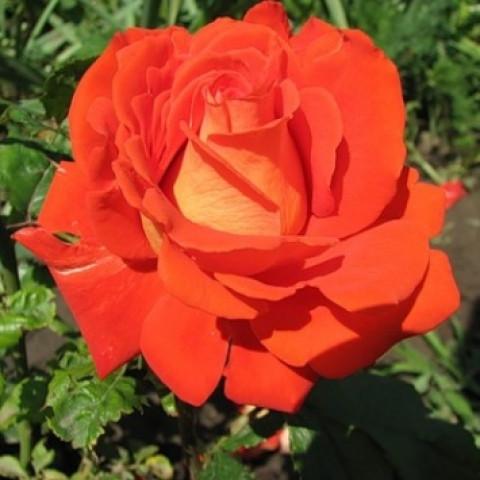 Троянда Верано (Verano)