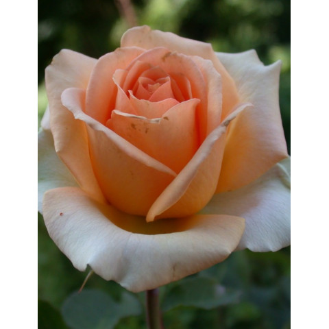 Троянда Версілія (Versilia)