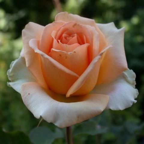 Роза Версилия (Versilia) (контейнер 3 л)