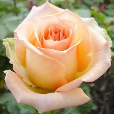 Роза Версилия (Versilia) штамб