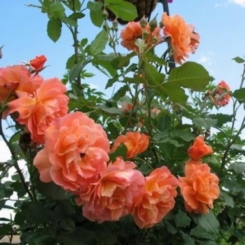 Троянда Вестерленд (Westerland)