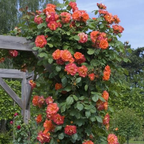 Роза Вестерленд (Westerland)