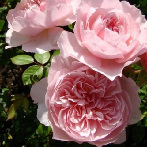 Троянда Віслі 2008 (Wisley 2008)