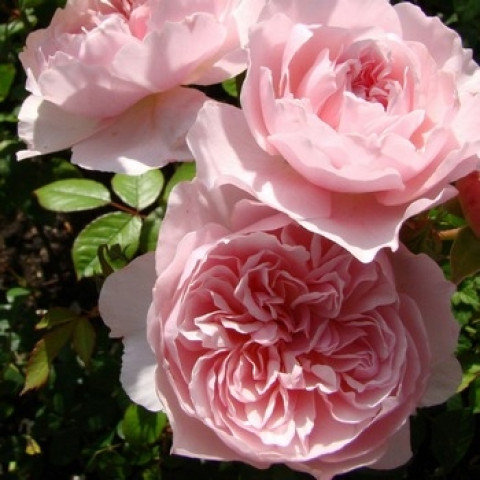Роза Висли 2008 (Wisley 2008)