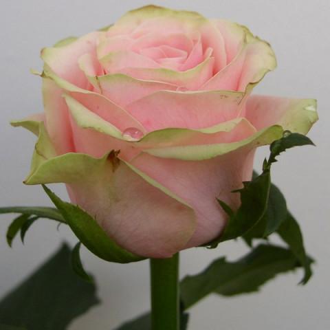 Троянда Вівальді (Vivaldi)