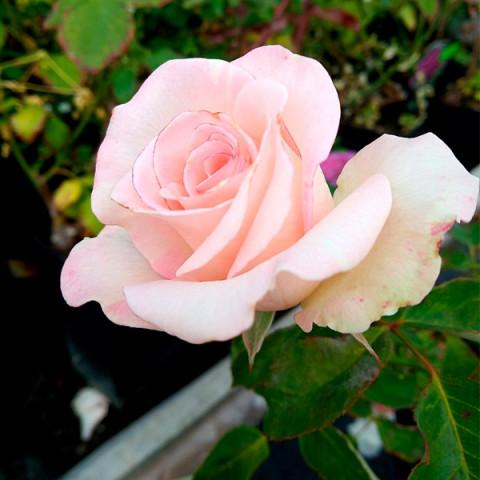 Роза Вивальди (Vivaldi) (контейнер 3 л)