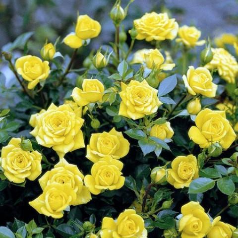 Троянда Жовта Лялька (Yellow doll)