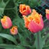 Тюльпан Бахромчатый Lambada
