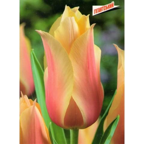 Тюльпан Гигантский Blushing Beauty