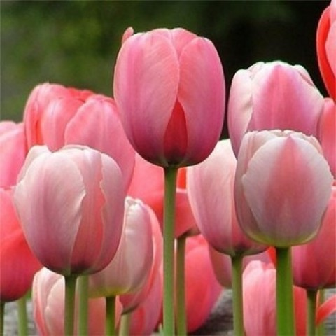 Тюльпан Гигантский Pink Impression