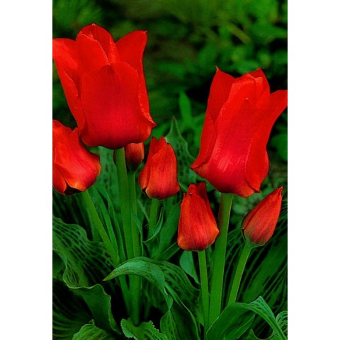 Тюльпан Грейга Orange Toronto