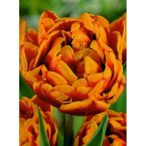 Тюльпан Махровый Allegretto