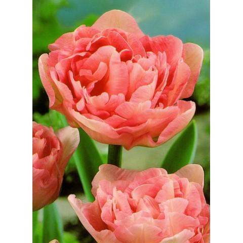 Тюльпан Махровый Angelique