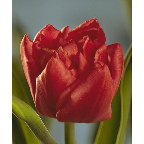 Тюльпан Махровый Electra