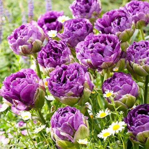 Тюльпан Махровый Exquisit